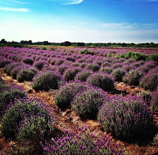 lavender field at Becker Vineyards