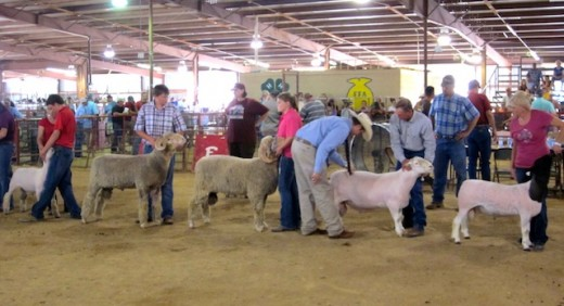 sheep judging at the Gillespie county fair in Fredericksburg, texas