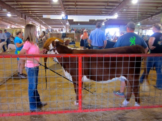 cattle judging at the gillespie county fair in fredericksburg, texas