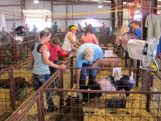 pigpens at the gillespie county fair in fredericksburg, texas