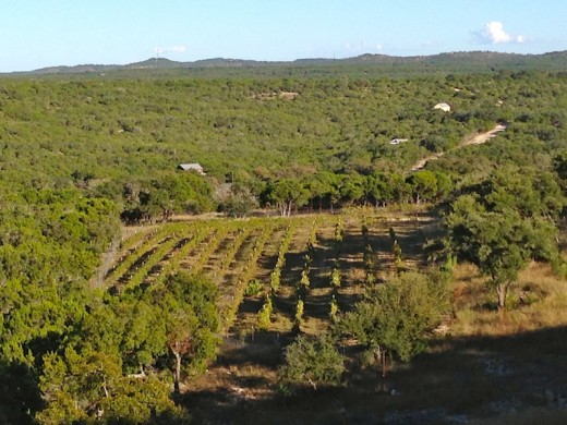 The lower vineyard at the new Hawk's Shadow winery near Dripping Springs, Texas