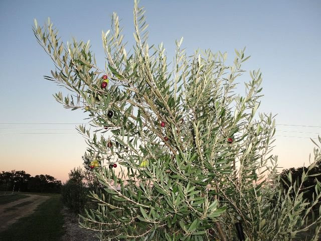 Olive Tree Sale - Way Out West Austin